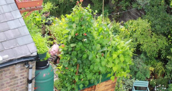 Growing runner beans in pots in pots - and get a great harvest