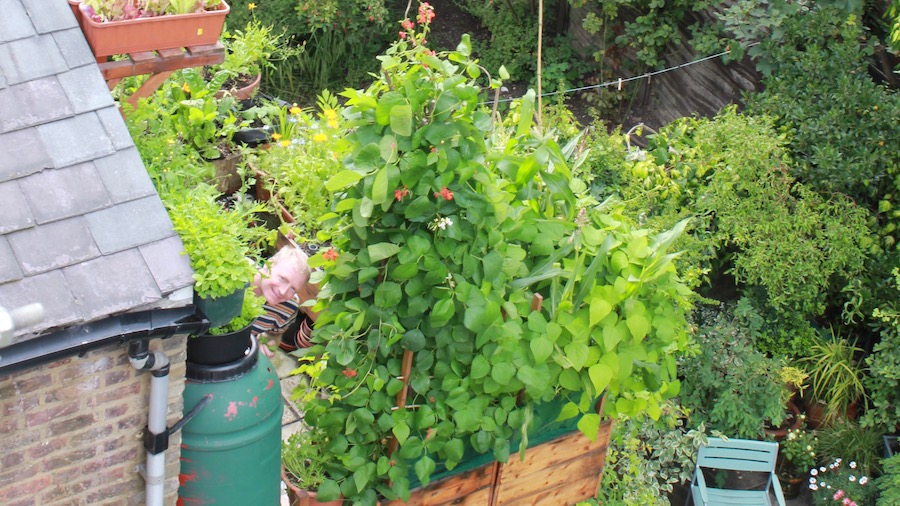 Growing Runner Beans In Pots In Pots And Get A Great Harvest Vertical Veg