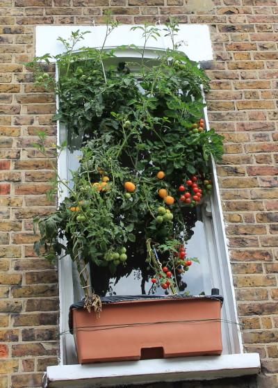 Tomato net curtains