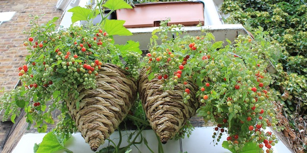 Ten of the best crops to grow in containers - Vertical Veg