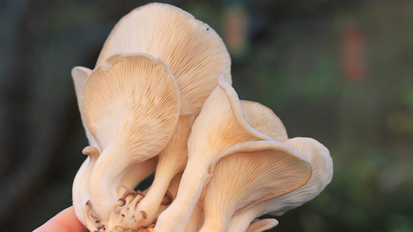 How to grow oyster mushrooms at home - Vertical Veg